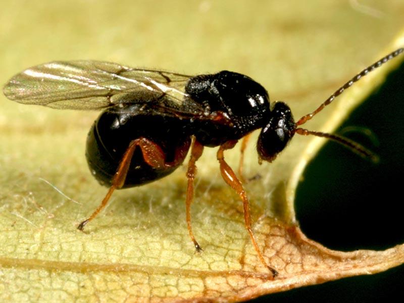 vespa del castagno
